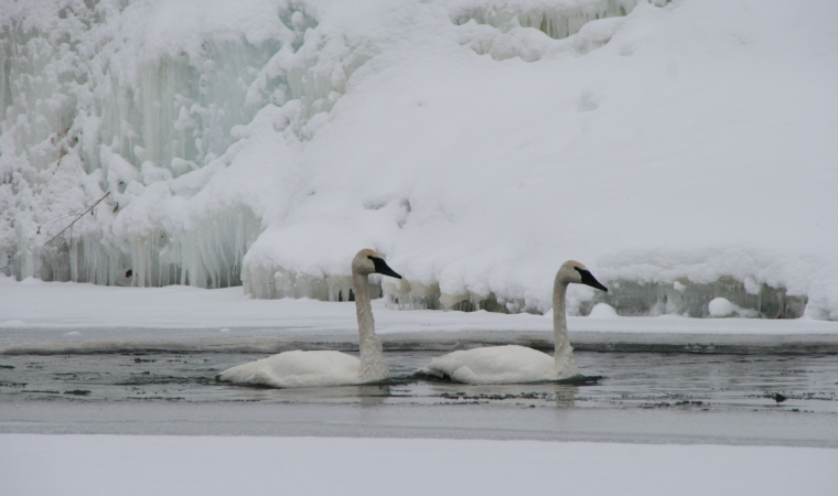 DW swans and fishing–jan 2014 009