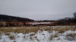 Snow buntings at Kelly Creek Preserve